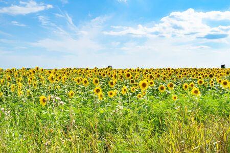 rural landscape - view of sunflower field under blue sky on sunny summer afternoon in Kuban region of Krasnodar Krai of Russia Imagens