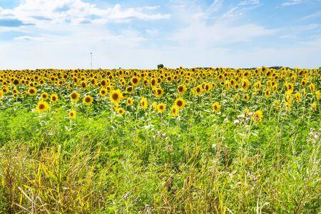rural landscape - view of sunflower field on summer afternoon in Kuban region of Krasnodar Krai of Russia