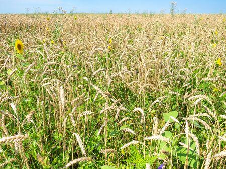 rural landscape - overgrown wheat field with sunflower bloom in summer in Kuban region of Krasnodar Krai of Russia Imagens