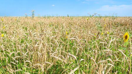 rural landscape - panoramic view of overgrown wheat field with sunflower in summer in Kuban region of Krasnodar Krai of Russia