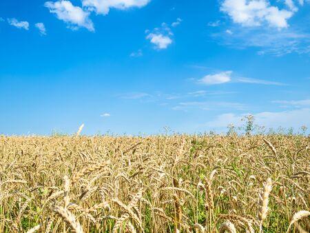rural landscape - blue sky over wheat field in summer in Kuban region of Krasnodar Krai of Russia