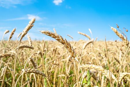 rural landscape - ripe wheat spikelets close-up in field in summer in Kuban region of Krasnodar Krai of Russia Imagens