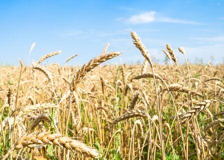 rural landscape - ripe wheat ears close-up in field in summer in Kuban region of Krasnodar Krai of Russia