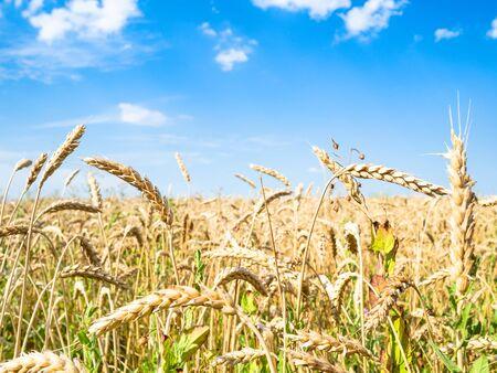 rural landscape - ripe wheat spikes close-up in field in summer in Kuban region of Krasnodar Krai of Russia Imagens