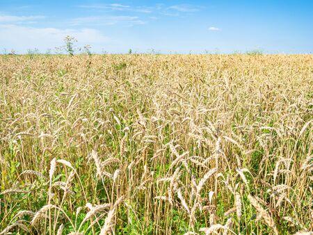 rural landscape - view of overgrown wheat field in summer afternoon in Kuban region of Krasnodar Krai of Russia Imagens