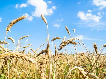 rural landscape - bottom view of ripe wheat spikelets close-up in field in summer in Kuban region of Krasnodar Krai of Russia