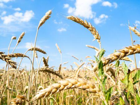rural landscape - bottom view of ripe wheat ears close-up in field in summer in Kuban region of Krasnodar Krai of Russia