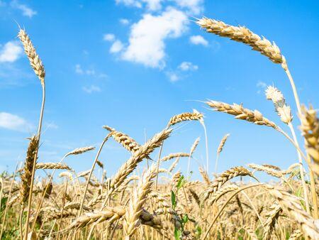 rural landscape - bottom view of yellow wheat spikelets close-up in field in summer in Kuban region of Krasnodar Krai of Russia Imagens