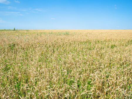 rural landscape - view of wheat field in summer in Kuban region of Krasnodar Krai of Russia Imagens