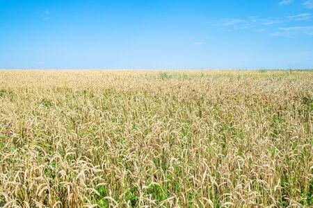 rural landscape - view of overgrown wheat field in summer in Kuban region of Krasnodar Krai of Russia Imagens