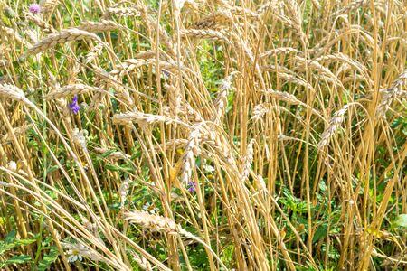 rural landscape - wheat spikelets in overgrown field in summer in Kuban region of Krasnodar Krai of Russia