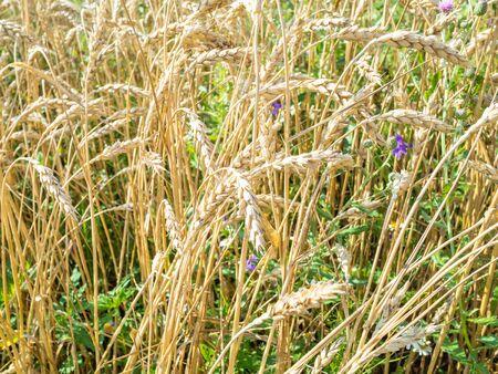rural landscape - wheat ears in overgrown field in summer in Kuban region of Krasnodar Krai of Russia