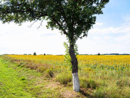 rural landscape - green tree on roadside along sunflower field on summer afternoon in Kuban region of Krasnodar Krai of Russia