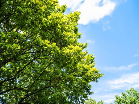 natural background - bottom view of lush foliage of oak tree and blue sky with white clouds in the Caucasus