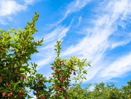 natural background - bottom view of green branches of tatar maple tree and blue sky with spindrift clouds in the Caucasus