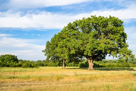natural background - old oak trees on meadow at summer sunset in the Caucasus (in Kuban region of Krasnodar Krai of Russia)