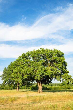 natural background - old green oak tree on meadow on summer day in the Caucasus (in Kuban region of Krasnodar Krai of Russia)