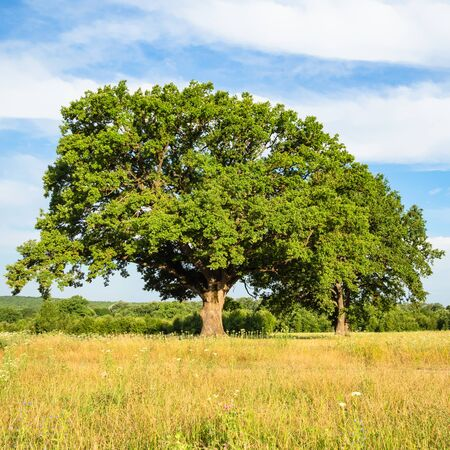 natural background - large oak tree on meadow on summer day in the Caucasus (in Kuban region of Krasnodar Krai of Russia) Imagens