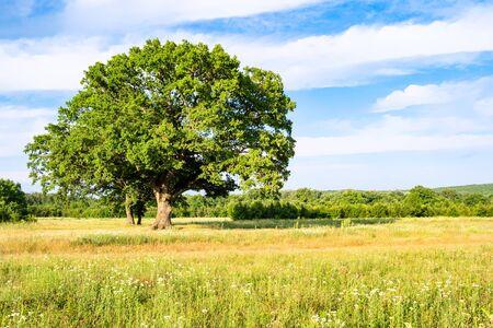 natural background - large oak tree on wild meadow on summer day in the Caucasus (in Kuban region of Krasnodar Krai of Russia)