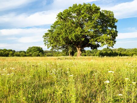 natural background - green meadow with old oak tree on summer day in the Caucasus (in Kuban region of Krasnodar Krai of Russia)