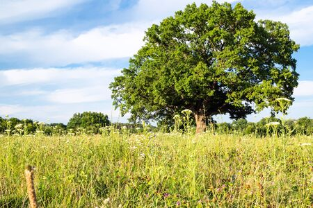natural background - bottom view of green meadow with old oak tree on summer day in the Caucasus (in Kuban region of Krasnodar Krai of Russia)
