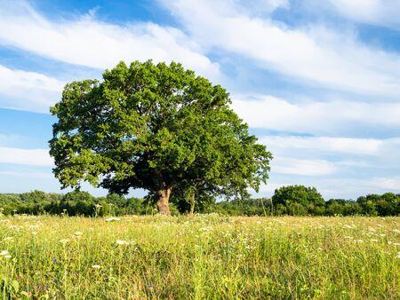 natural background - green grassplot and large oak tree on summer day in the Caucasus (in Kuban region of Krasnodar Krai of Russia) Imagens