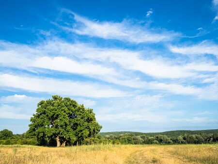natural background - blue sky with white clouds over oak tree on meadow on summer day in the Caucasus (in Kuban region of Krasnodar Krai of Russia)