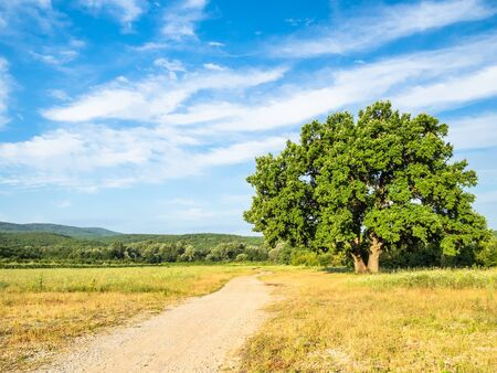 natural background - large oak near country road at summer sunset in the Caucasus (in Kuban region of Krasnodar Krai of Russia)