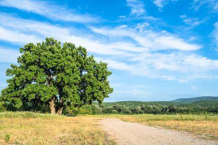natural background - old oak tree near country road on summer day in the Caucasus (in Kuban region of Krasnodar Krai of Russia)