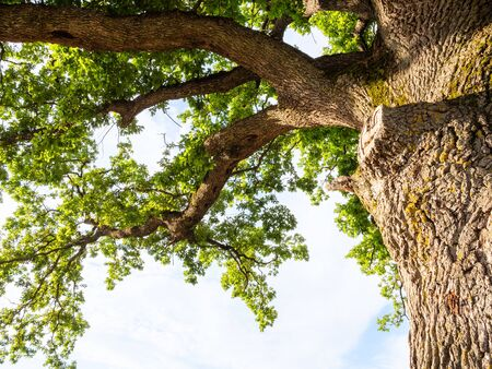 natural background - bottom view of old oak tree and blue sky in the Caucasus in summer evening