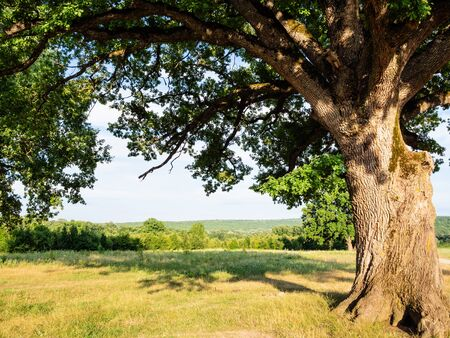 natural background - old oak tree at the edge of forest in the Caucasus in summer evening