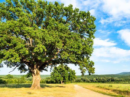 natural background - big oak tree near dirty road at summer sunset in the Caucasus (in Kuban region of Krasnodar Krai of Russia)