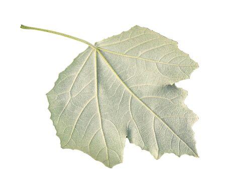 back side of fresh green leaf of silverleaf poplar (white poplar) tree cut out on white background Imagens