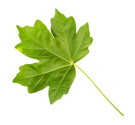 back side of fresh green leaf of maple tree cut out on white background