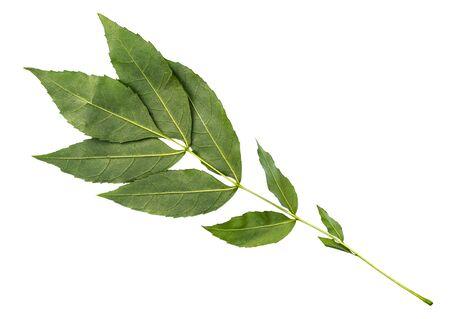 Reverso de la ramita verde fresca de fresno común cortado sobre fondo blanco.