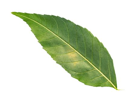 back side of fresh green leaf of common ash tree cut out on white background
