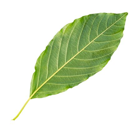 back side of fresh green leaf of tree cut out on white background Imagens