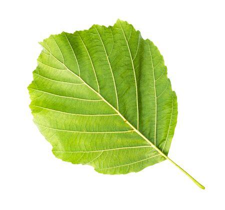 back side of fresh green leaf of alder tree cut out on white background