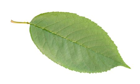 fresh green leaf of sweet cherry tree cut out on white background