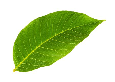 fresh green leaf of walnut tree cut out on white background