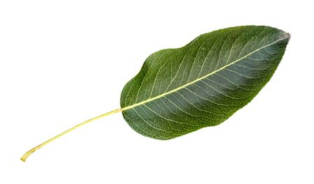 fresh green leaf of pear tree cut out on white background Imagens
