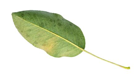 back side of fresh green leaf of pear tree cut out on white background