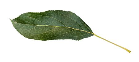fresh green leaf of apple tree cut out on white background Imagens
