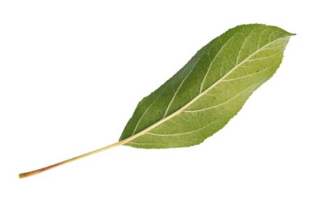 back side of fresh green leaf of apple tree cut out on white background