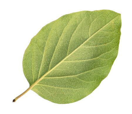 back side of fresh green leaf of quince tree cut out on white background