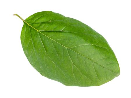 fresh green leaf of quince tree cut out on white background