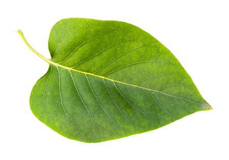 fresh green leaf of syringa tree cut out on white background Imagens