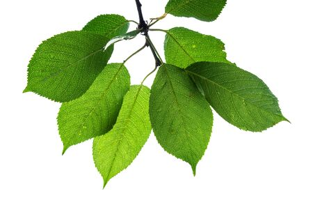 green leaves of wild cherry tree cut out on white background Imagens