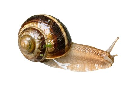 one wet live snail (helix lucorum) cutout on white background Imagens