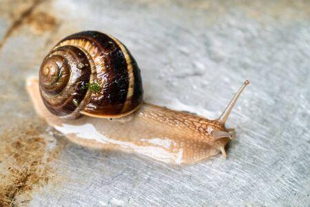 snail (helix lucorum) crawls on wet metal board close-up Imagens